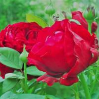 一つだけ残った庭のバラ