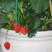 イチゴを定植する
