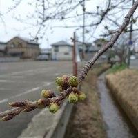 桜咲いてます🌸