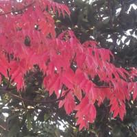 赤く染まったハゼの樹@野々池貯水池