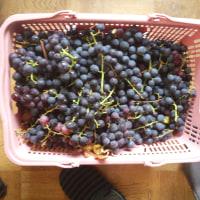 葡萄の収穫・・・