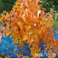 今日の長芋の葉