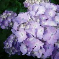 梅雨と紫の花