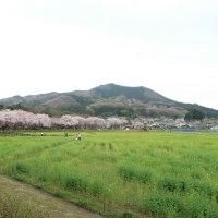 巾着田の春~桜並木🌸~