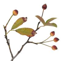 Rosa banksiae var. normalis f. lutescens