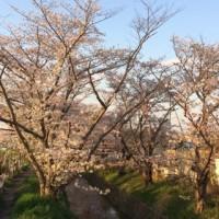 虚空蔵谷川の桜並木