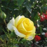 散歩道の薔薇花壇(Flowerbed with roses in a walkway)