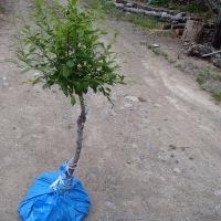 シベリアザクラ(オヒョウモモ)の移植