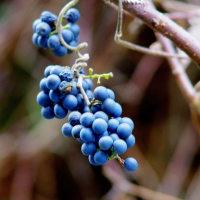 エビヅル。 きょうの一句は「山葡萄」