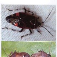 大分県九重町九重山系のカメムシ2種の記録