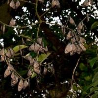 越冬の準備、三々五々と集まるリュウキュウアサギマダラ