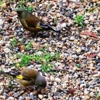 <カワラヒワ(河原鶸)> スズメ大、翼の後方に鮮やかな黄色の紋様