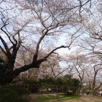 心残りの桜。