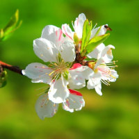 花ももの里 福島市飯坂町