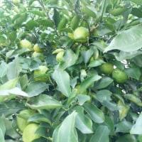 今日の柚子♪