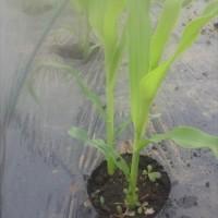 苗の植え付けは一段落したが これからモット忙しく!