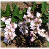 初夏に芳香を…(^^♪清楚で美しいピンク色の花 「サラサウツギ(更紗空木)」