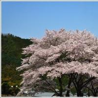「宝 積 寺」 の しだれ桜   (1の1)  ★ 2017.04.27 ★