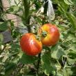 我が家の7月の野菜