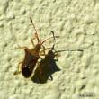 平良幸春沖縄の昆虫写真集 ☆「ホソハリカメムシ」