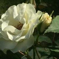 緑のバラ 「緑光」