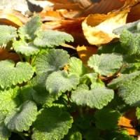 枯れ葉に包まれたヒメオドリコソウ