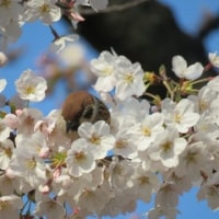 春の歌 (藤原さくら)
