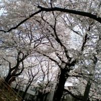 北沢緑地の桜!