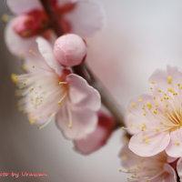 梅咲きそろう