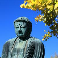 ●鎌倉 高徳院 鎌倉大仏 仁王門 イチョウの黄葉とセンダンの実 ススキなど