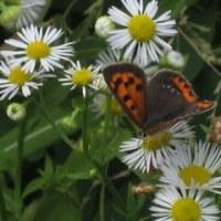今日の散歩で見た蝶。