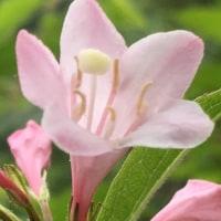 谷ウツギの花