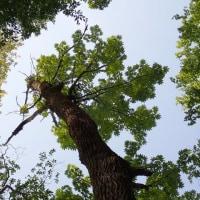 ハリギリの巨木