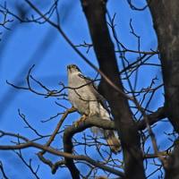 猛禽オオタカ成鳥・幼鳥の枝止まりの姿を・・・