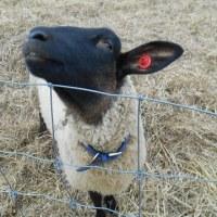 羊さんに会いに行きました🎶