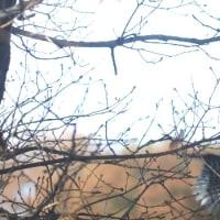 赤啄木鳥(アカゲラ)