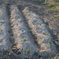 家庭菜園をやって 二年目・・・小玉スイカの苗植え・トマト・空豆・枝豆・トウモロコシなど状態