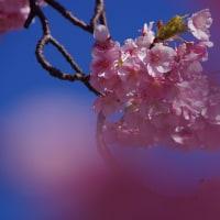 満開の花びら、河津桜ー2 2017