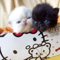 初・公開の記念♪キティ箱入り☆ペルシャ猫ベビー誕生♪♪2週間(=゜ω゜)ノ