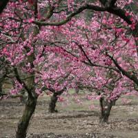 栗林公園内の梅林での梅の花