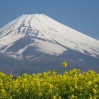 富士山と桜と菜の花