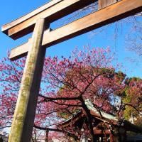 荏原神社の寒緋桜