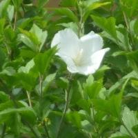 170622 むくげの第一号花開花。移動図書館で「五木寛之を読む」を借りる!平壌での壮絶の原体験!