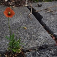 もらい火、ハハコグサ / 野の花