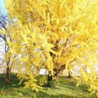 晩秋黄葉。