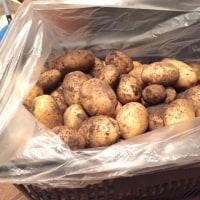 ジャガイモ(十勝こがね)収穫しました
