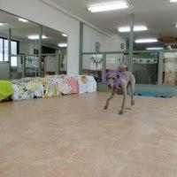 ジーナちゃん初登園でした💛 犬の幼稚園&躾教室@アロハドギー