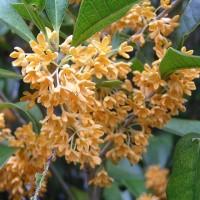 金木犀が開花