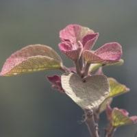 うわーお! なんと美しい 赤芽かしわ の新芽だ!