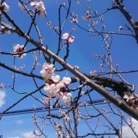 青空に杏の花の自己主張
